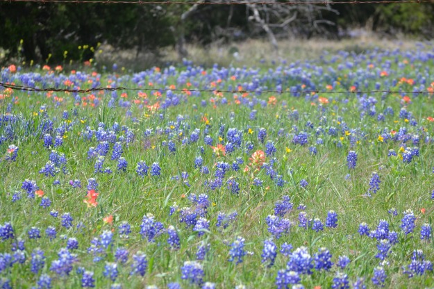 Texas Bluebonnets #2