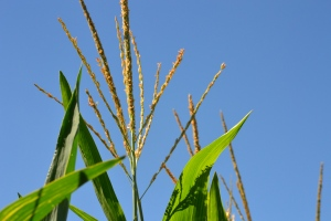 Corn Stalk Tassel