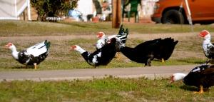 Hissing ducks