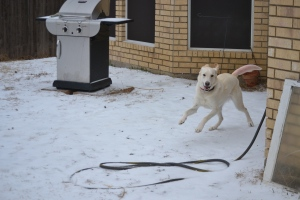 Sugar running in snow