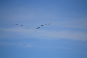 A wedge of geese