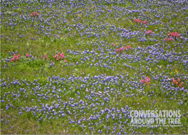 Bluebonnets & Indian Paint Brushes