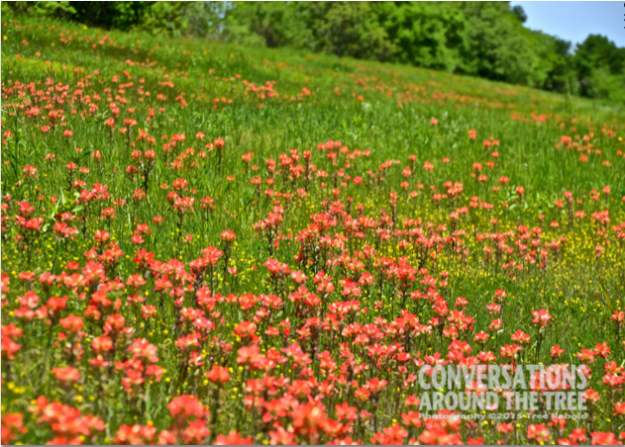 Field of Indian Paint Brushes
