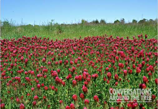 Red Clover - Oklahoma