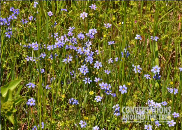 Blue Eyed Grass - Oklahoma
