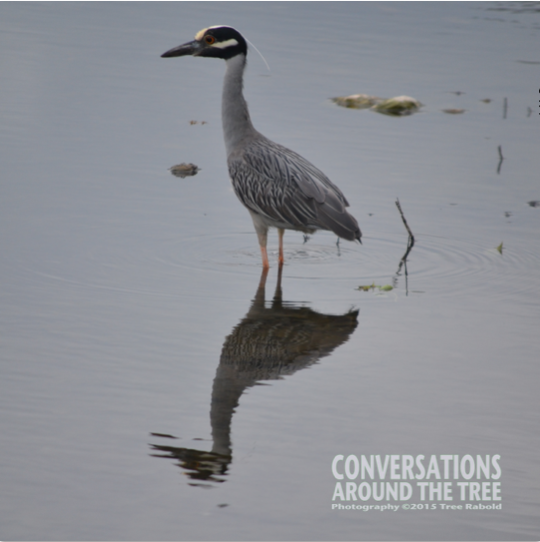 Yellow- Crowned Night- Heron