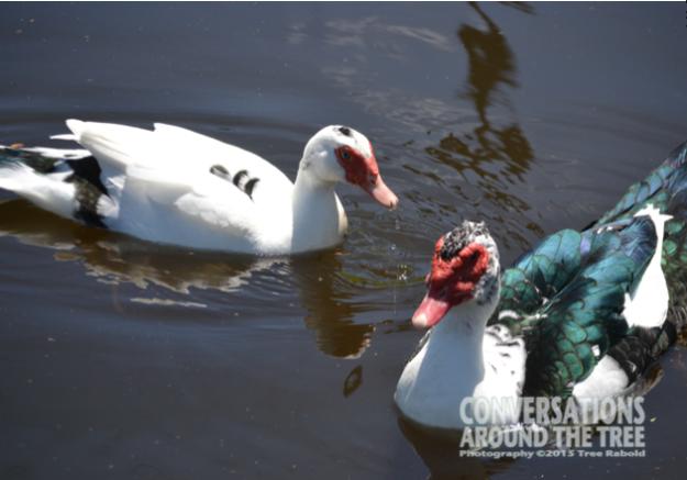 Pairs - Ducks