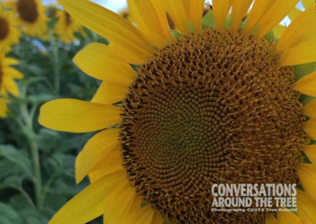 Sunflower - Itasca TX