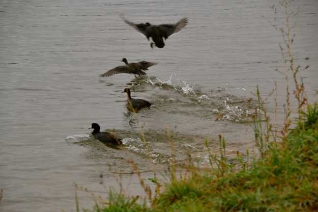 American Coots fleeing the paparazzi