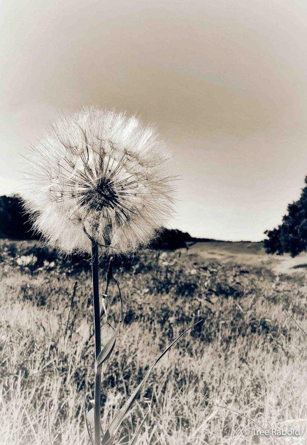BW dandelion